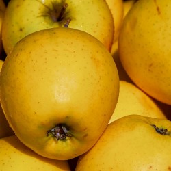 Pommes Golden Pilat