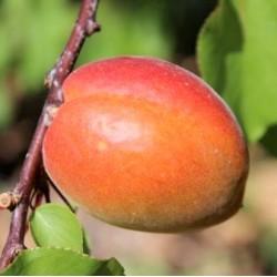 Abricot Wondercott